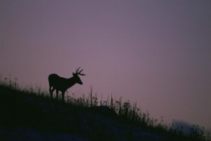 the-silhouette-of-a-white-tailed-deer-standing-on-a-hillside-stands-out-against-a-purple-sky-at-dusk_w725_h486